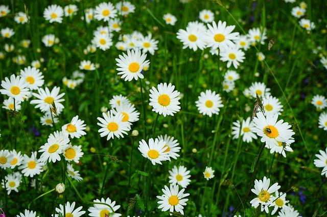 meadows-daisies-474255_640