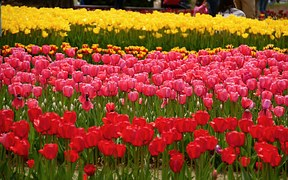 tulip-975828__180