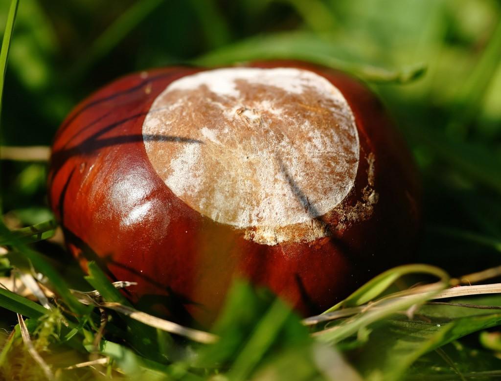 chestnut-464074_1280
