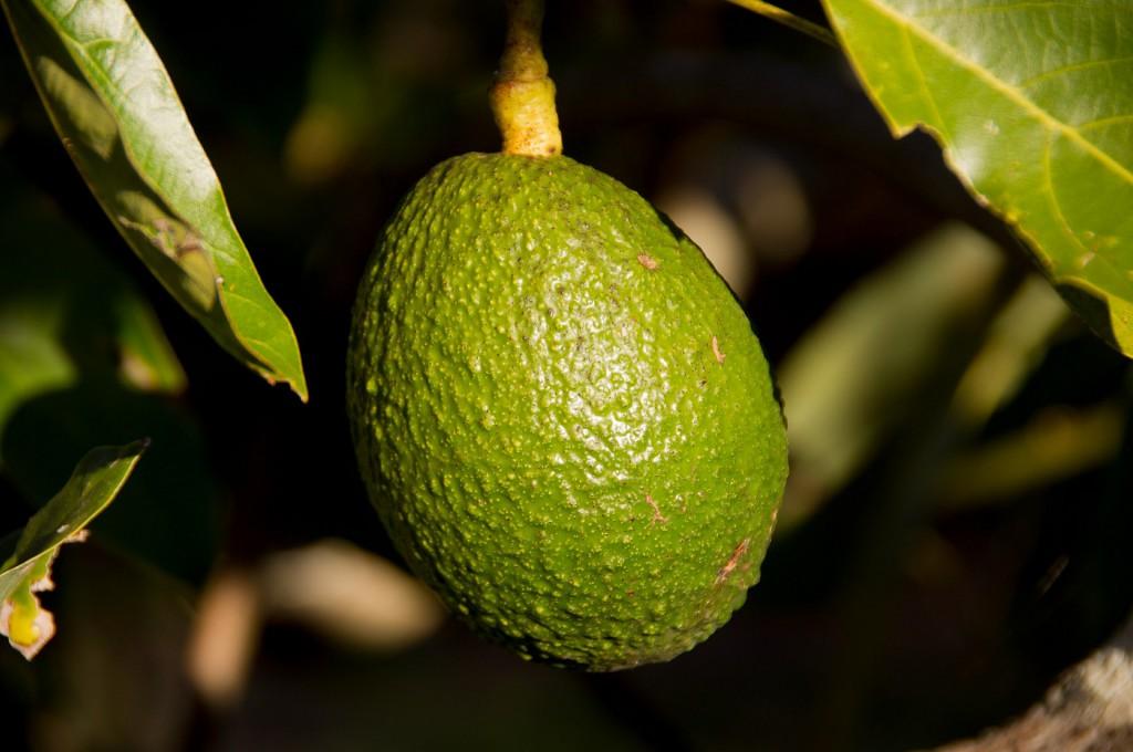 hass-avocado-415546_1920