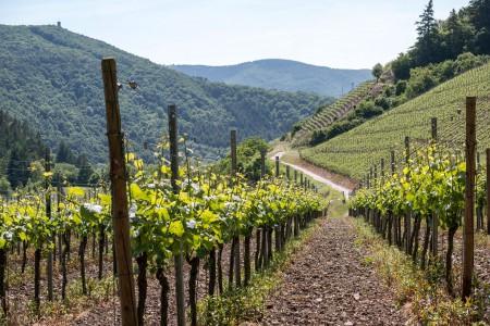 vines-806129_1920